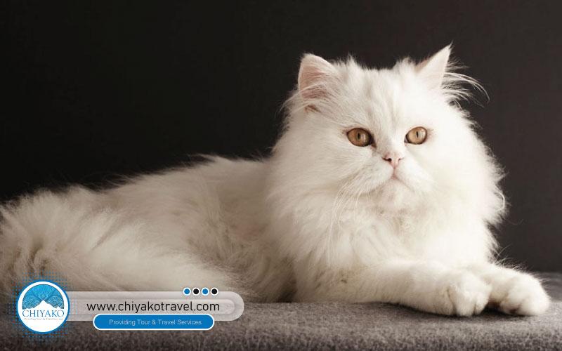 Classic Persian Cat [Doll face Persian cat]