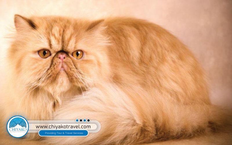 Super Flat cat