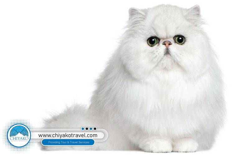 Persian Flat cat