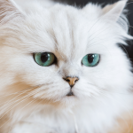 How Much Does a Persian Cat Cost